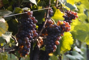 Grappoli d'uva merlot