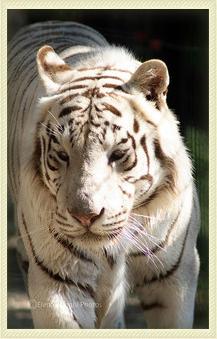 Parco Faunistico Le Cornelle - Tigre Bianca